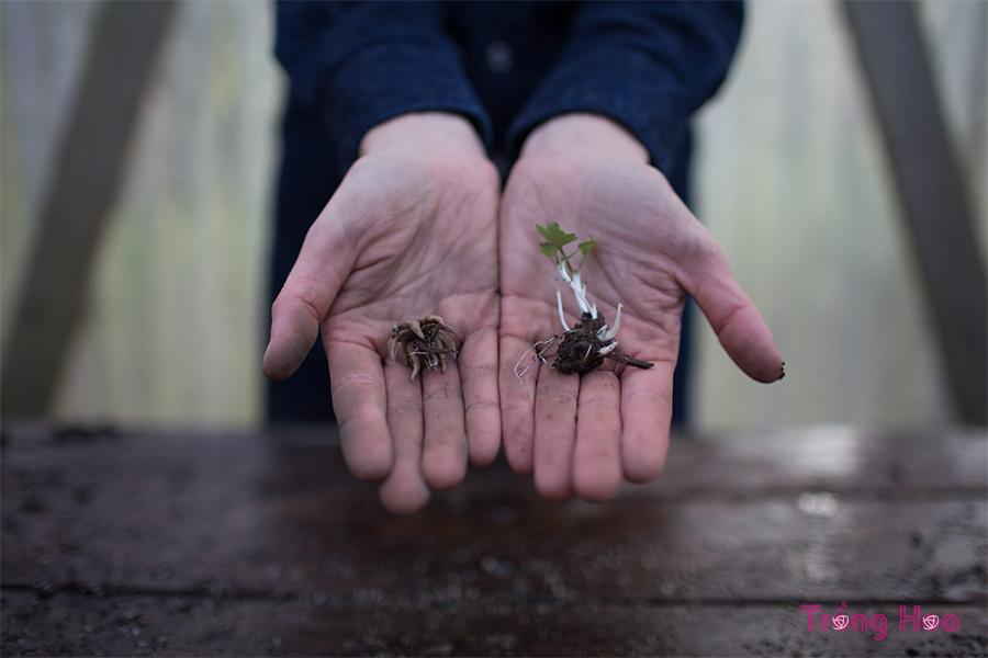 cách trồng hoa mao lương bằng củ