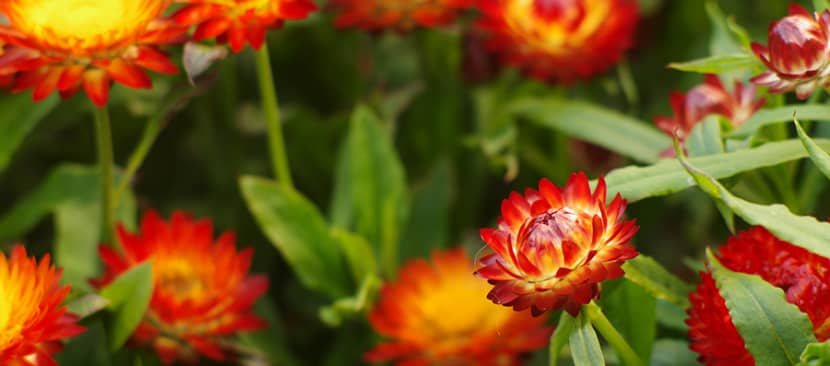 Ý nghĩa hoa bất tử