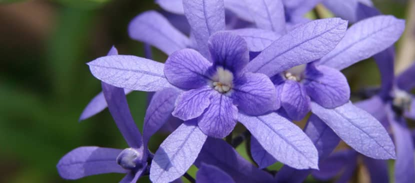 ý nghĩa hoa mai xanh