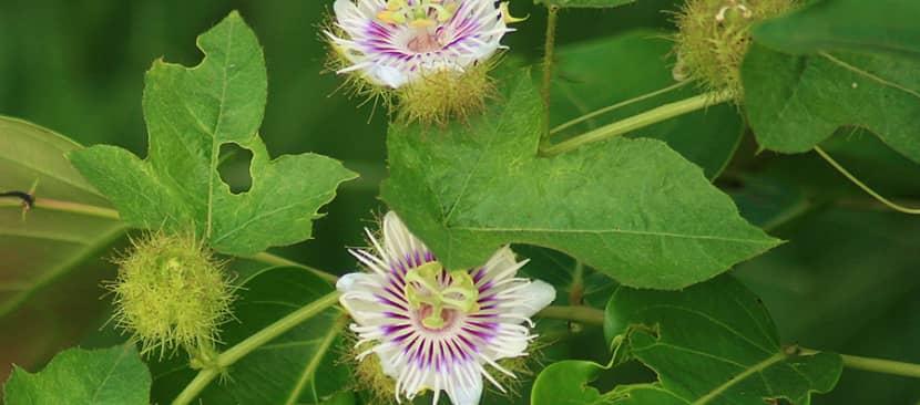 Hoa lạc tiên (Passion Flower)