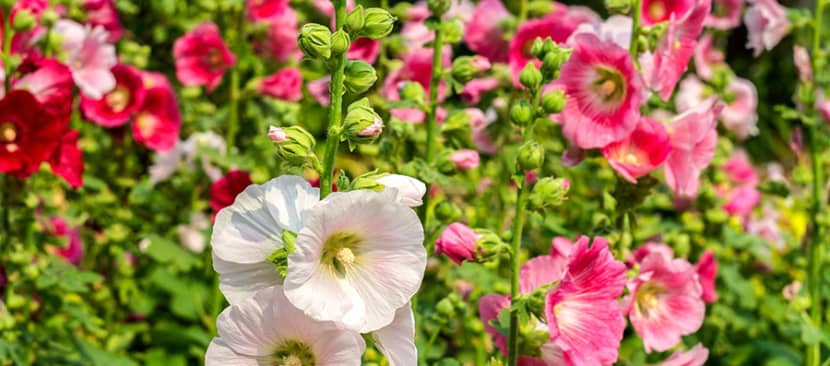 Hoa mãn đình hồng (Hollyhock)