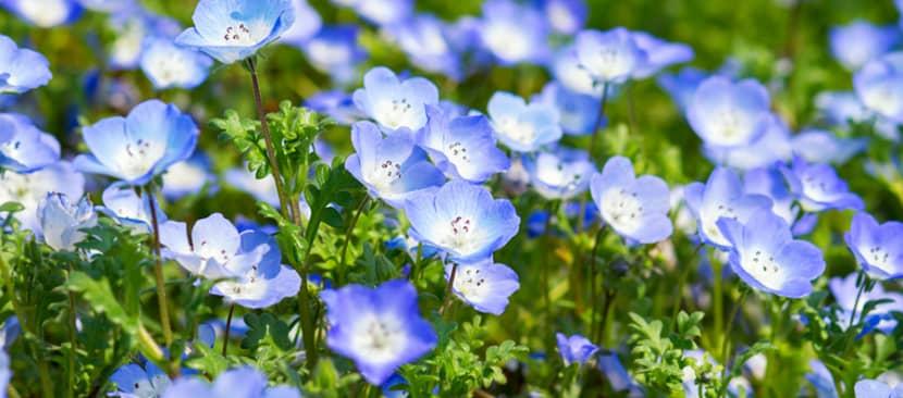 Hoa mắt xanh Nemophila