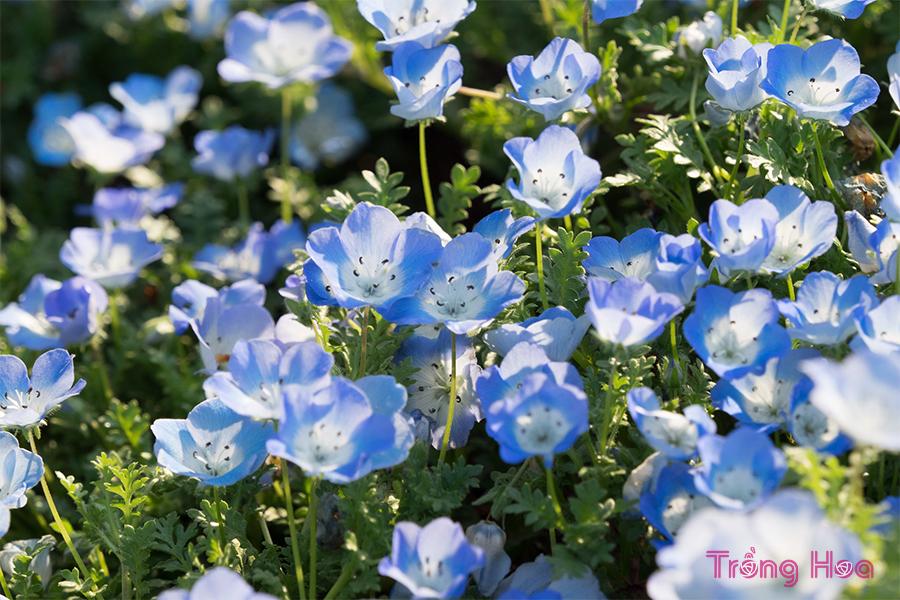 Hoa thủy tiên xanh
