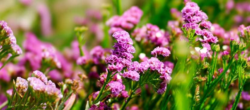Hoa Salem - Limonium sinuatum