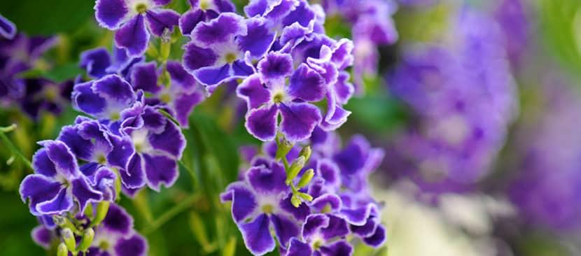 Cách trồng cây hoa găng tím