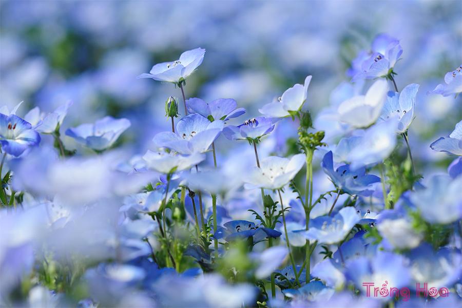 Cách trồng hoa mắt xanh từ hạt