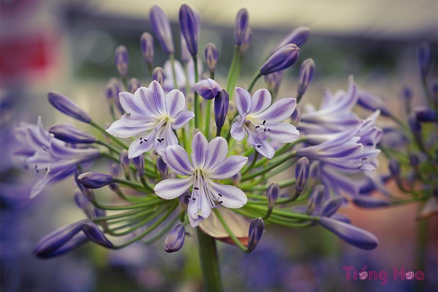 cách trồng hoa thanh anh từ hạt giống
