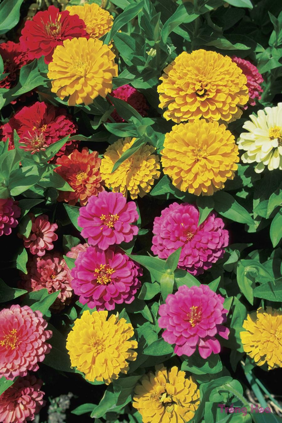 Cách cắt tỉa hoa cúc ngũ sắc