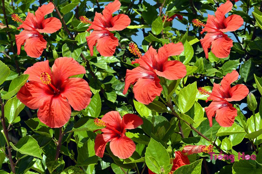Cách cắt tỉa hoa dâm bụt