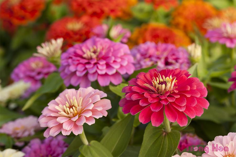 10 loại hoa hằng năm dễ trồng từ hạt giống