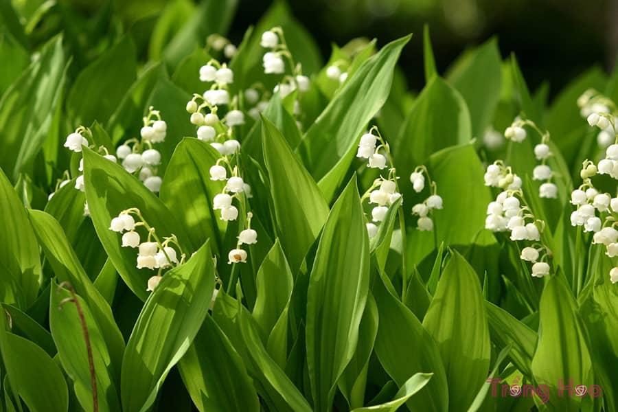 Hoa linh lan (Lan chuông) - Convallaria majalis