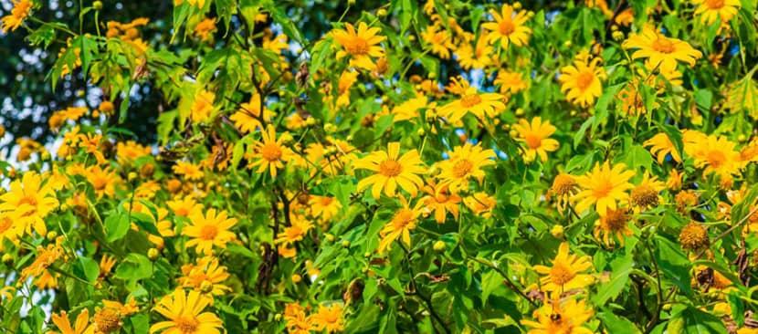 Cách giâm cành nhân giống hoa dã quỳ