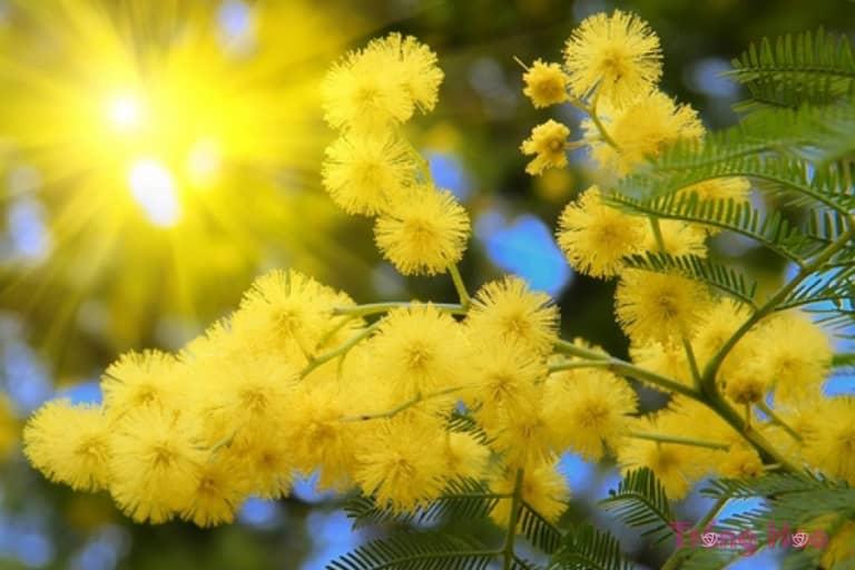 Sự tích hoa trinh nữ vàng Mimosa