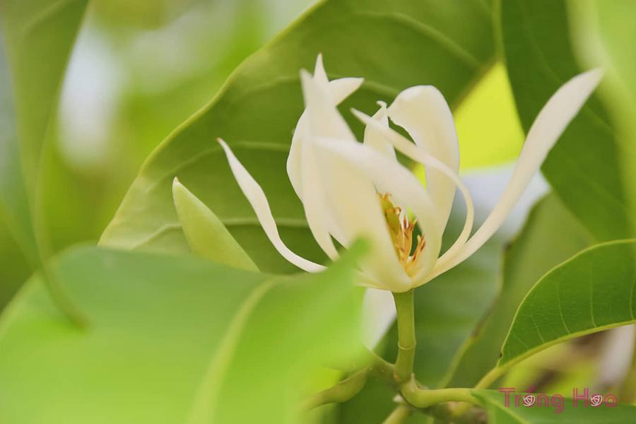 Những bài thơ hay về hoa ngọc lan