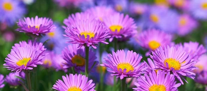 Những bài thơ hay về hoa thạch thảo