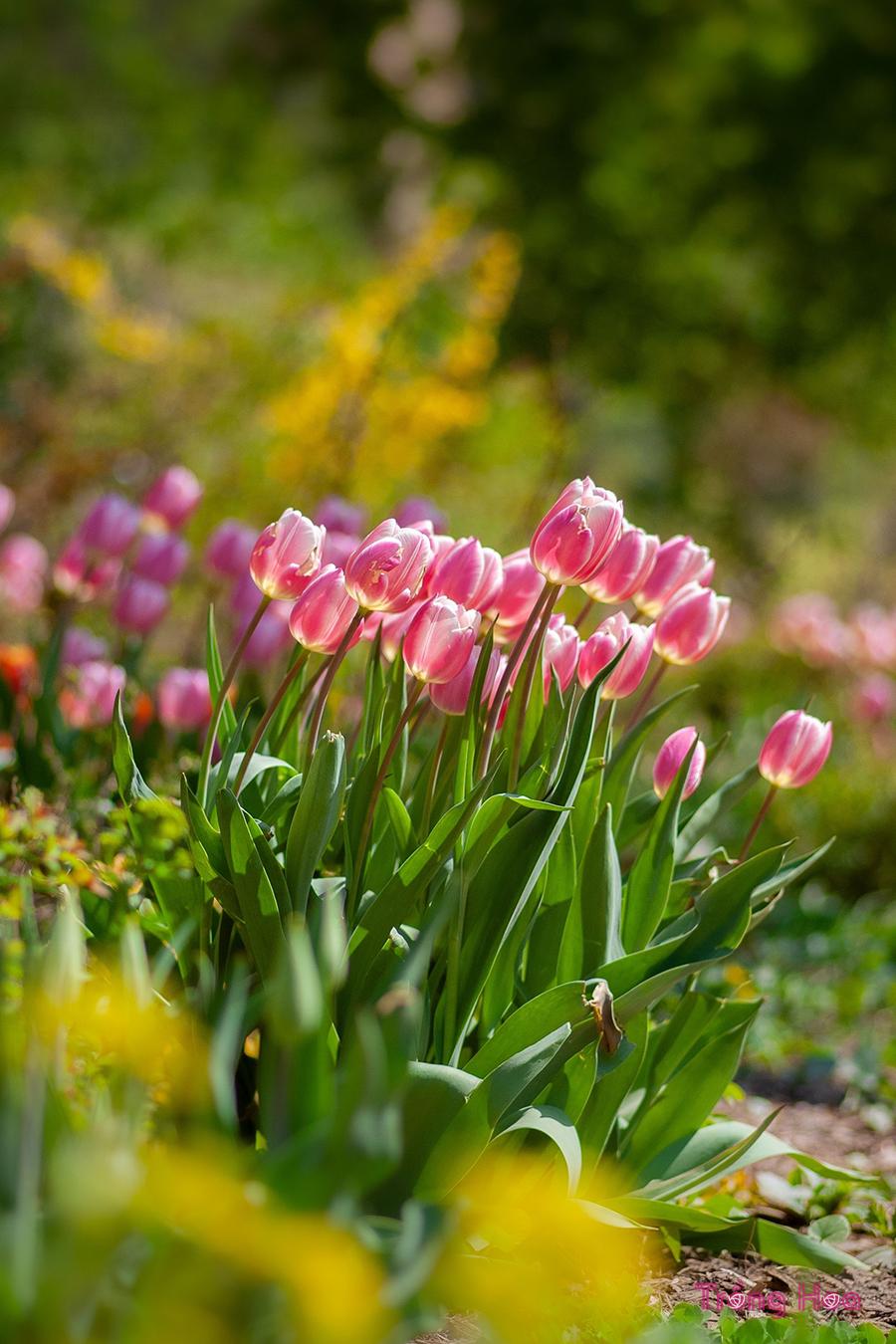 Những bài thơ hay về hoa tulip