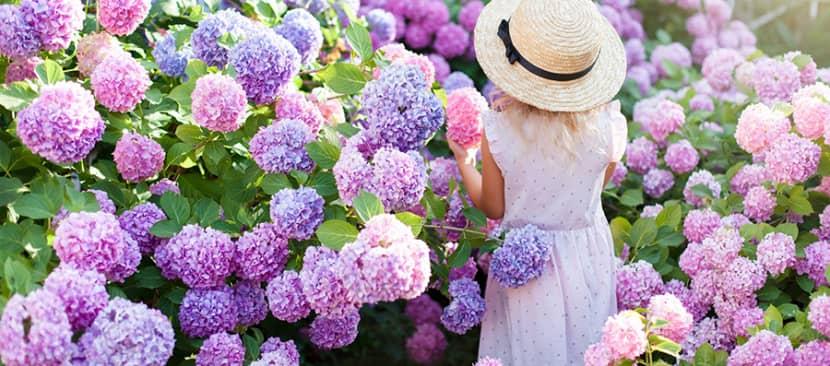 Truyện ngắn về hoa: Những bông tú cầu đi lạc