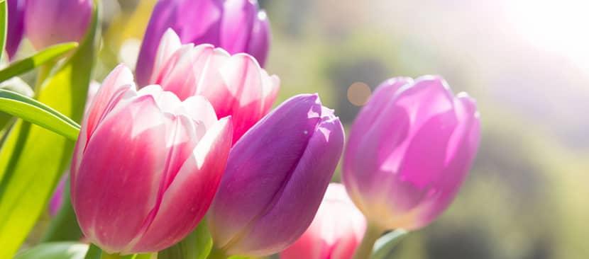 Truyện ngắn hoa tulip