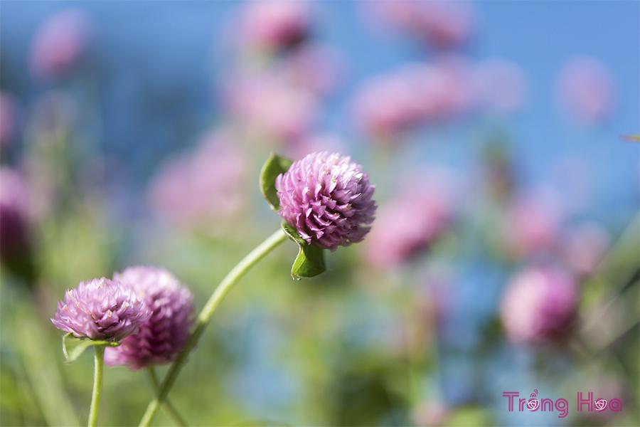 Ý nghĩa hoa cúc bách nhật