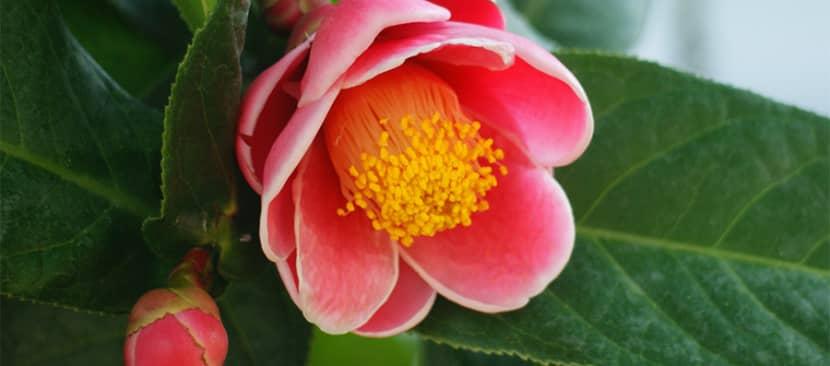 Ý nghĩa hoa hải đường