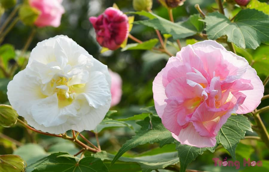 Ý nghĩa hoa phù dung