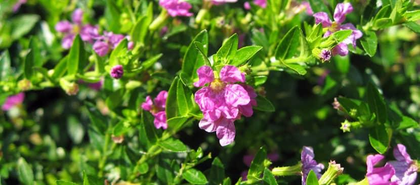 Ý nghĩa hoa cẩm tú mai