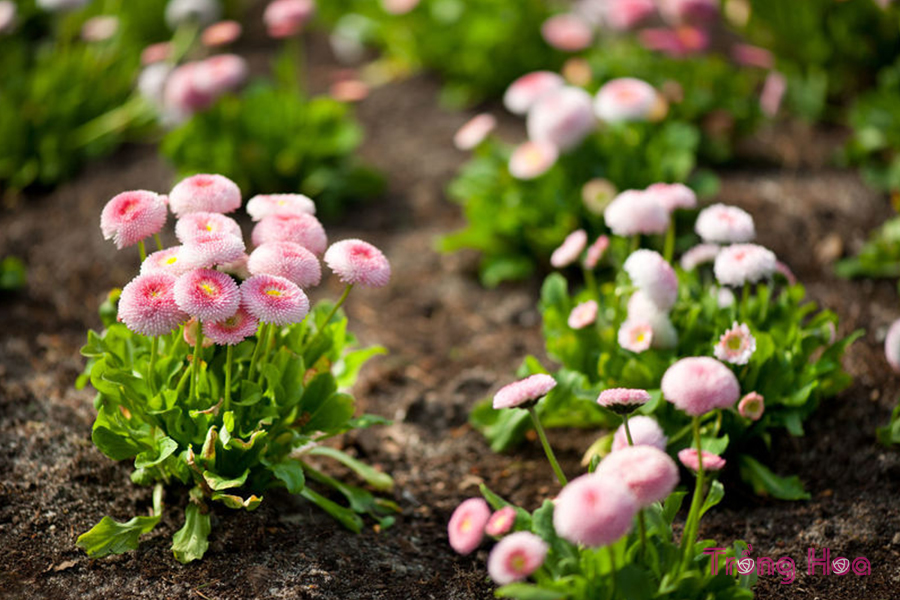 Hoa Cúc Anh Bellis