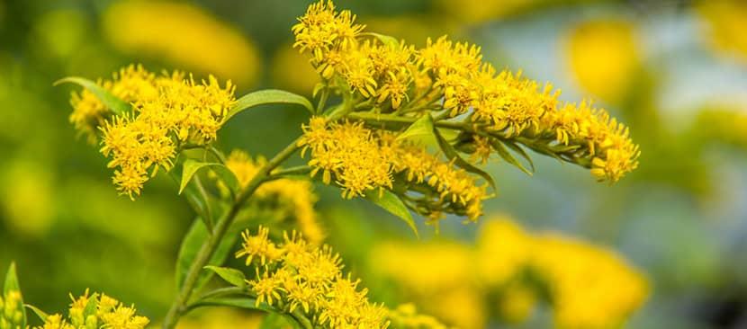 Hoa cúc hoàng anh (Goldenrod)