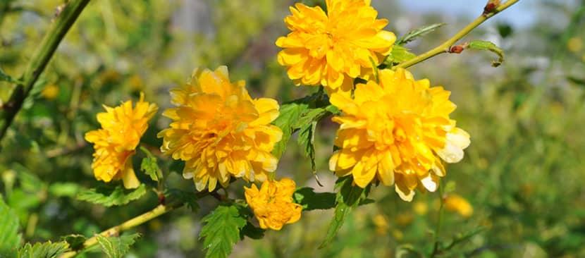 Hoa lệ đường Kerris Japonica