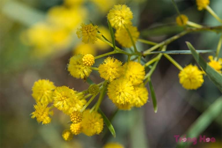 Hoa trinh nữ vàng Mimosa