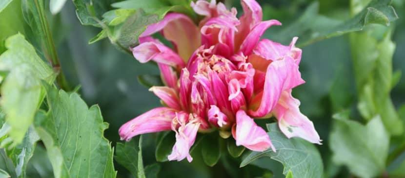 Cách trị bệnh hại hoa thược dược