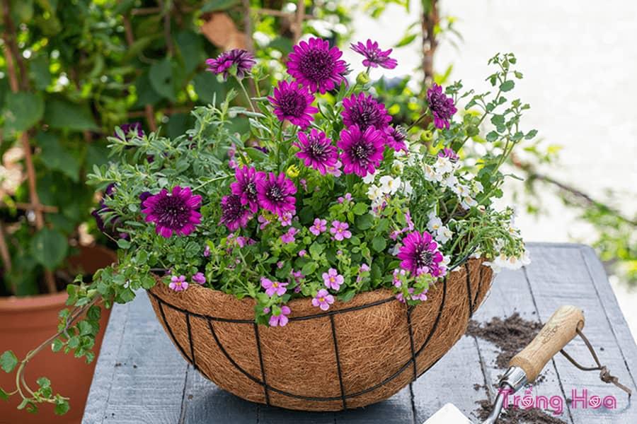 Cách trồng giỏ hoa treo