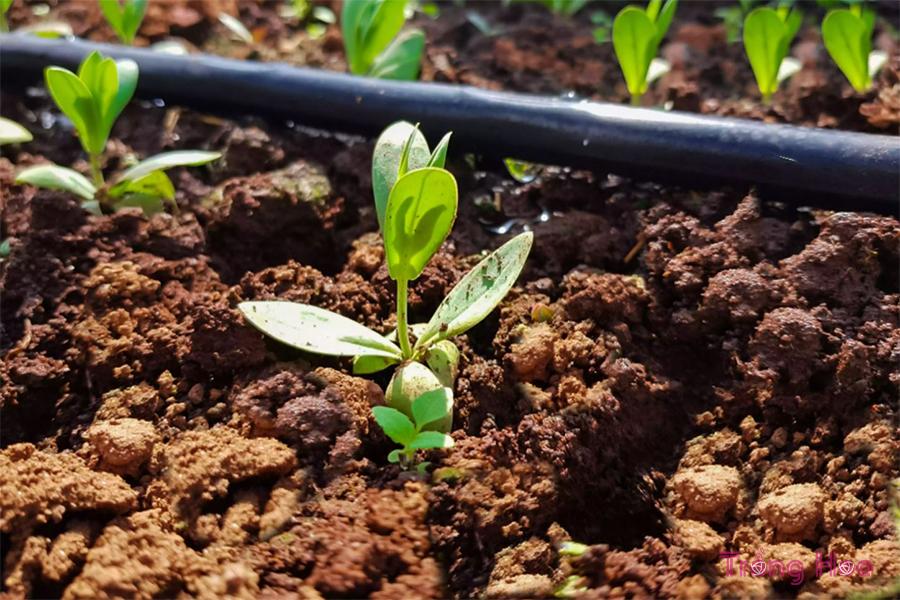 Cách trồng hoa cát tường từ hạt và cây con