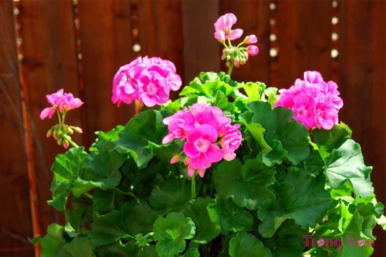 Cách nhân giống hoa phong lữ từ cành giâm