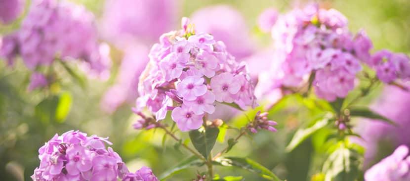 Tìm hiểu về Hoa phlox
