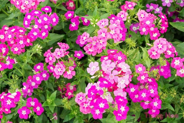 Cách giâm rễ nhân giống hoa Phlox