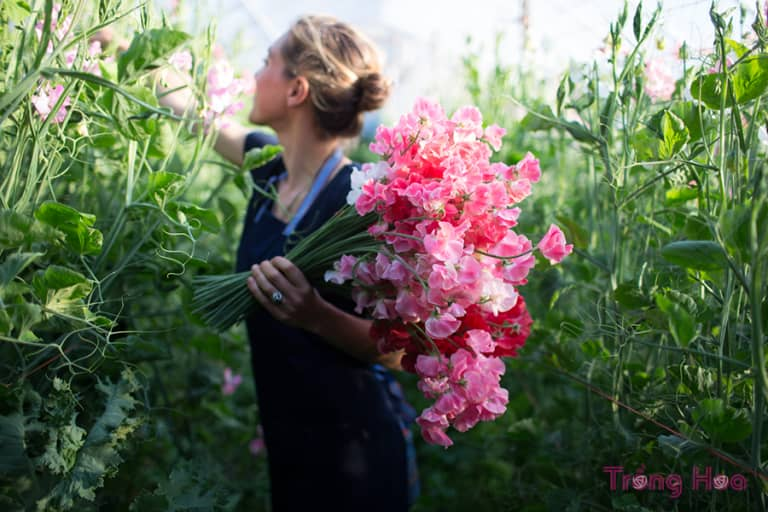 Cách trồng hoa đậu thơm