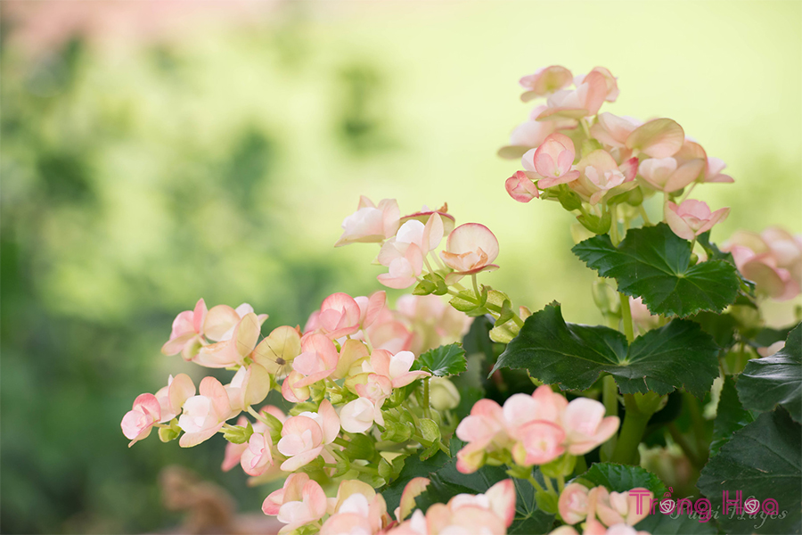 Cách trồng hoa thu hải đường bằng củ
