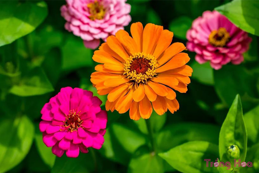 Ý nghĩa hoa cúc ngũ sắc