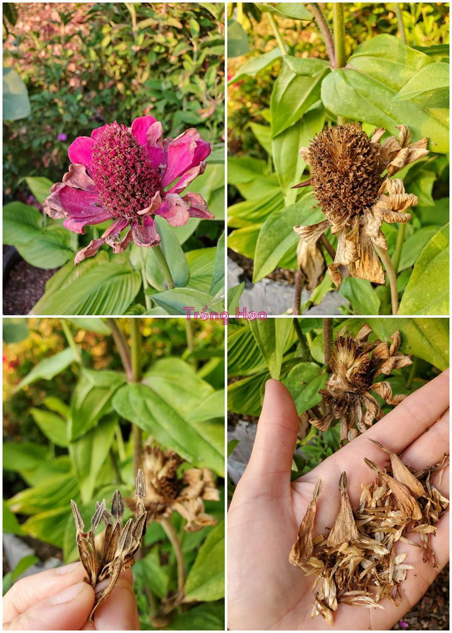 Cách lưu trữ hạt giống hoa cúc ngũ sắc
