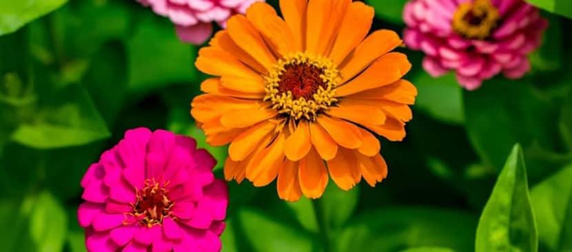 Hoa cúc ngũ sắc Zinnia