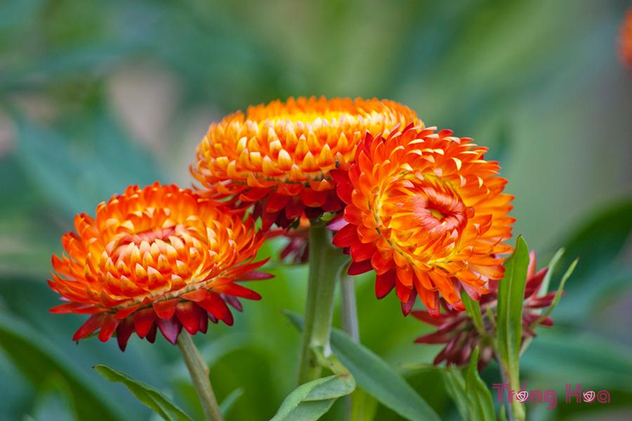 Những bài thơ hay về hoa bất tử