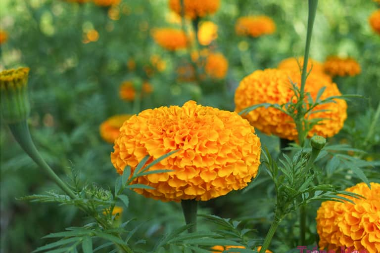 Những bài thơ hay về hoa cúc vạn thọ