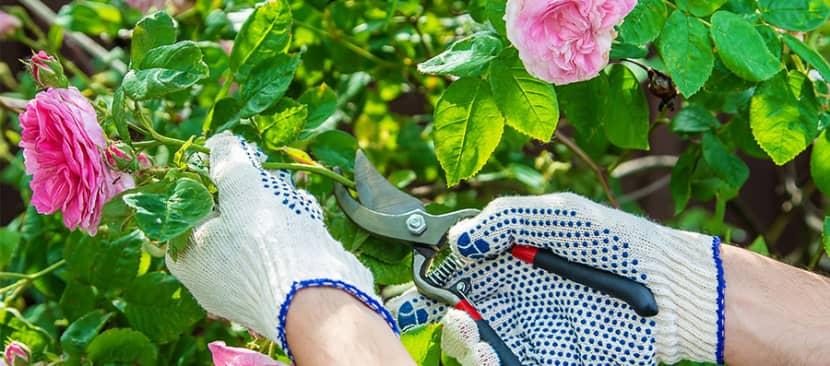 Cách cắt tỉa cây hoa hồng