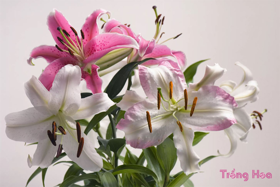 Hoa lilies (Lilium Spp.and hybrid)