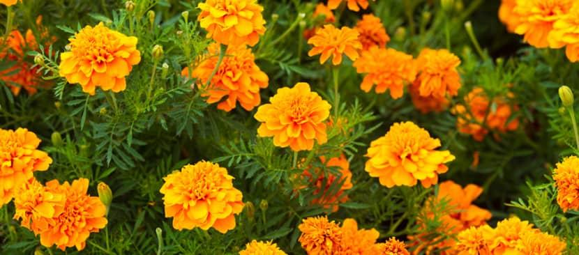 lưu trữ hạt giống hoa cúc vạn thọ