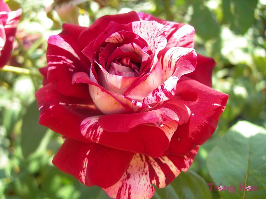 Sự tích và ý nghĩa hoa hồng viền trắng