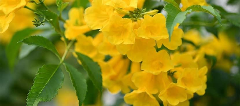 Hoa huỳnh liên (Yellow elder)- Tecoma stans