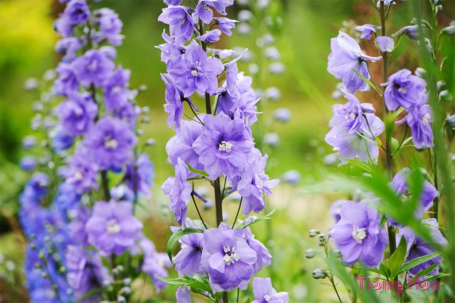 Hoa phi yến Delphimum