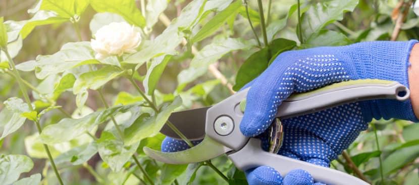 Cách cắt tỉa hoa nhài